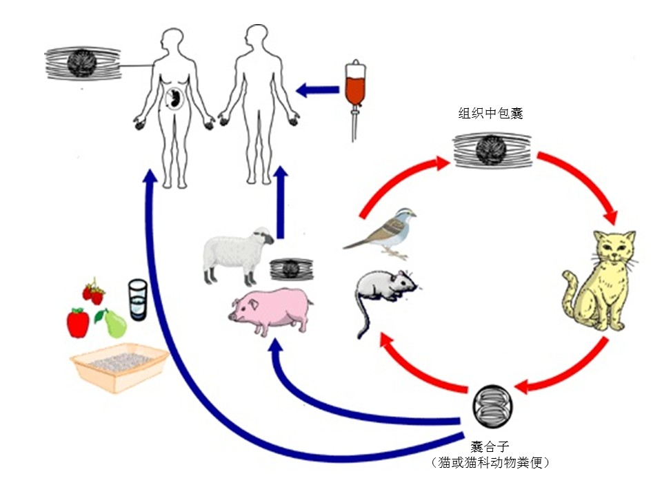 孕期弓形虫感染 – Page 3 – 产科循证科普网